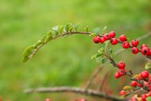 Close-up Red Cotoneaster Berri...
