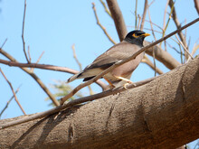 Myna On A Tree Branch Against The Sky, Selective Focus