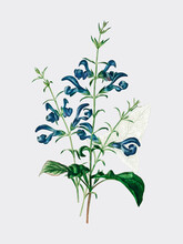 Salvia Patens Illustrated By C...