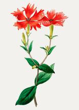 Vintage Bunge's Lychnis Flower...