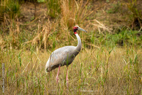 Fototapeta premium sarus crane or Grus antigone portrait with water droplets in air from beak in natural green background during excursion at keoladeo ghana national park or bharatpur bird sanctuary rajasthan india