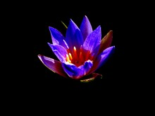 Nymphaea Nouchali, Often Known By Its Synonym Nymphaea Stellata, Or By Common Names Blue Lotus, Star Lotus, Blue Star Water Lily Or Manel Flower Is A Water Lily Of Genus Nymphaea.