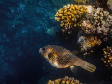 White Spotted Puffer Fish With...