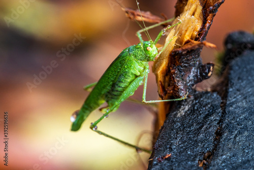 Beautiful grasshopper on the stump in autumn