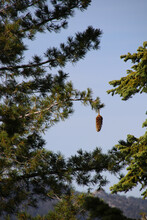 A Huge Pine Cone Hangs Lonely On A Branch,Yosemite National Park, California.