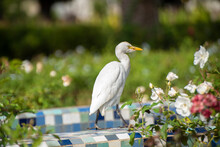 The Cattle Egret ( Bubulcus Ib...
