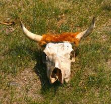Bull Skull On The Ground. Warning And Danger Consept.