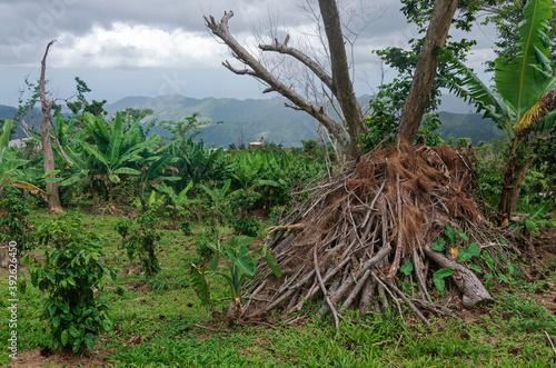 crops and brush at recovering coffee plantation Fotobehang