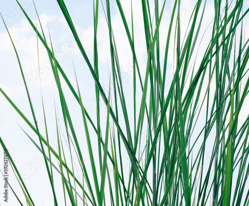 Fotografering Green long and narrow grass sedge background.