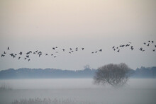 Flock Of Birds Passing Over Foggy Pasture