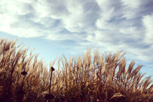 Feathery Plumes Of Pampas Gras...