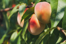 Three Ripe Peaches Weigh On Tr...