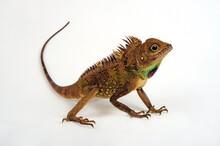Bell's Anglehead Lizard // Bla...