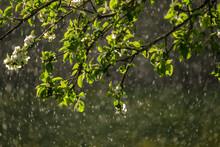 Sun Rays On Apple Tree Leaves ...
