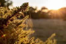 Morning Light On Cobweb, Gorse Bush, Golden Meadow Scene.