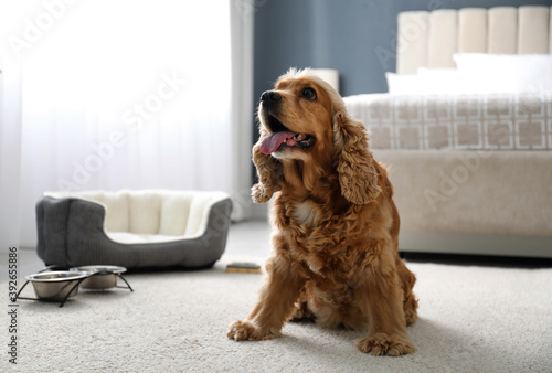 Cute English Cocker Spaniel indoors. Pet friendly hotel Fotobehang