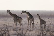 Namibia - Etosha - 3 Girafes