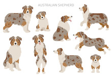Australian Shepherd Dogs Set. Color Varieties, Different Poses. Dogs Infographic Collection