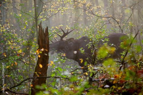 Fototapeta młody samiec łosia w naturalnym otoczeniu obraz