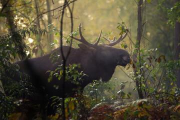 młody samiec łosia w naturalnym otoczeniu