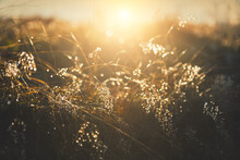 Wild Grasses With Morning Dew ...
