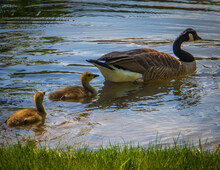 Canadian Goose With Her Baby Goslings Taking A Swim In The Pond
