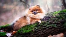 Pomeranian Spitz In Autumn For...