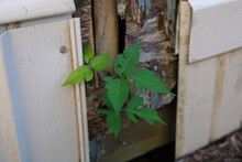 Poison Ivy Growing On Building Toxicodendron Radicans