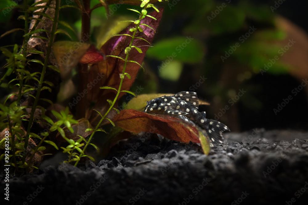 Fototapeta fresh water aquarium with hypancistrus L201 fish posing on a plant