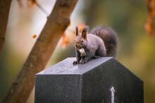 Eichhörnchen Auf Einem Grab, Wiener Zentralfriedhof, Wien, Österreich