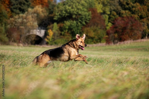 beautiful shepherd dog is running on a field on a beautiful autumn day Canvas