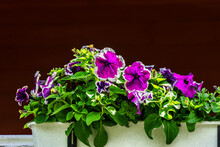 Petunias On A Dark Background.