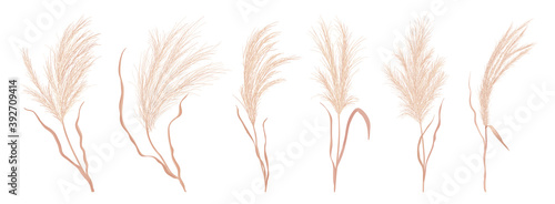 Fototapeta Dry pampas grass vector set. Watercolor field autumn design elements. Boho fall illustration of dried plant obraz
