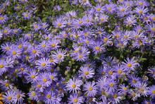 Purple Aster Flowers,  Little Carlow,  Cordifolius Hybrid