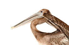 Brown Pelican Isolated On White With Wings Raised Looking At Camera.