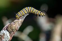 Monarch Caterpillar On A Branch