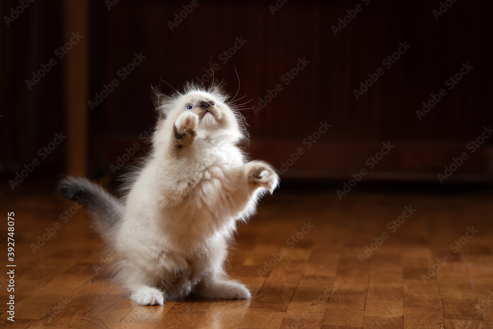 Fototapeta fluffy kitten plays. Bicolor Rag Doll Cat. on the floor on a brown at home