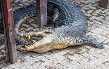 A Crocodile Turned Around A Pole Eats Meat.