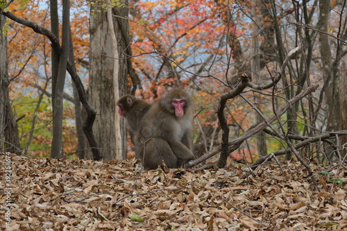ニホンザル。山の野生動物。Japanese macaque in the forest, autumn time Japan
