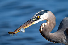 Great Blue Heron With Two Fish