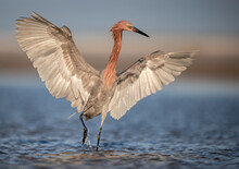 Reddish Egret On A Florida Bea...