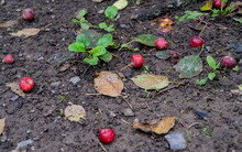 Wild Red Apples Lying On The G...