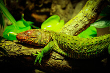 Lizard Sitting To A Tree