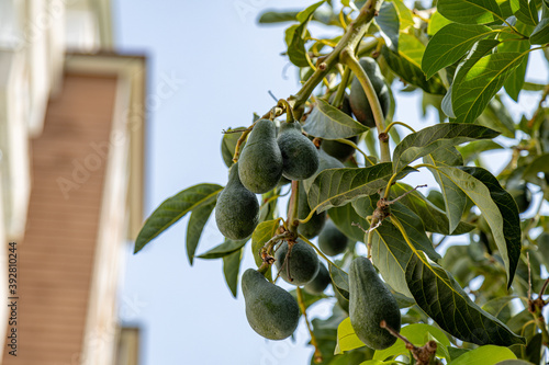 Obraz na plátne Avocado tree branch closeup with ripe fruits on a branch.