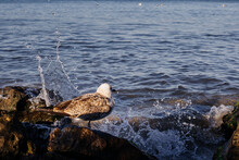 Seagull Sits On A Stone Covered With Algae At The Edge Of The Black Sea, Water Lashes Against The Stones