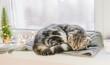 Scottish fold cat sleeps on a windowsill on a winter day