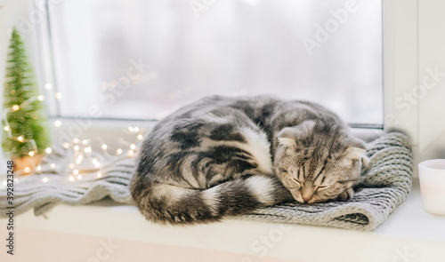 Scottish fold cat sleeps on a windowsill on a winter day