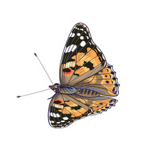 Vector Colorful Painted Lady B...