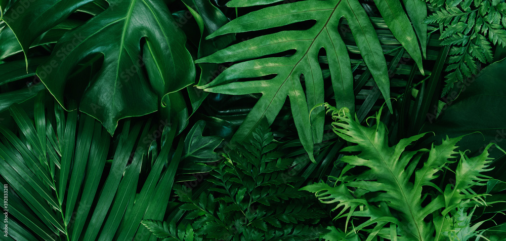 Fototapeta Monstera green leaves or Monstera Deliciosa in dark tones(Monstera, palm, rubber plant, pine, bird's nest fern), background or green leafy tropical pine forest patterns for creative design elements.