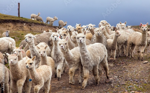 Fototapeta premium llama or lama, group of lamas on pastureland